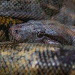 dangerous animal python